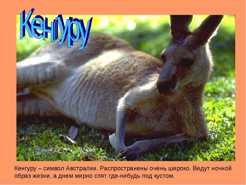 Кенгуру – символ Австралии. Распространены очень широко. Ведут ночной образ ж...