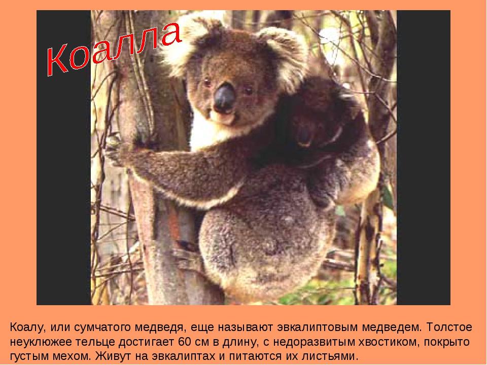Коалу, или сумчатого медведя, еще называют эвкалиптовым медведем. Толстое неу...