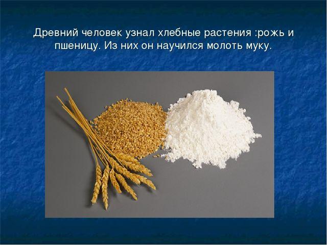 Древний человек узнал хлебные растения :рожь и пшеницу. Из них он научился мо...