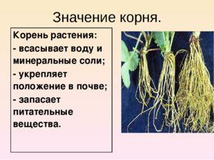 Значение корня. Корень растения: - всасывает воду и минеральные соли; - укреп