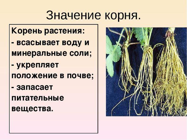 Значение корня. Корень растения: - всасывает воду и минеральные соли; - укреп...