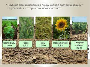 Глубина проникновения в почву корней растений зависит от условий, в которых о