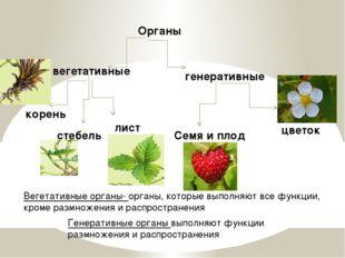 Органы вегетативные генеративные корень стебель лист цветок Семя и плод Веге