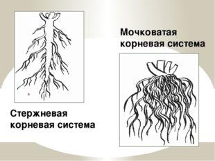 Стержневая корневая система Мочковатая корневая система