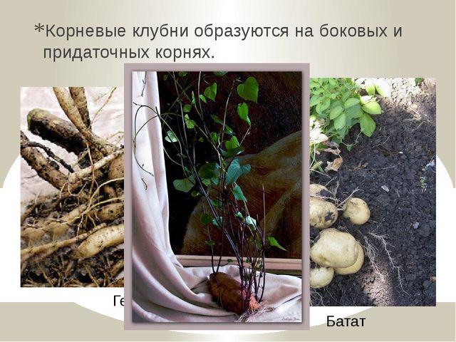 Корневые клубни образуются на боковых и придаточных корнях. Георгина Батат