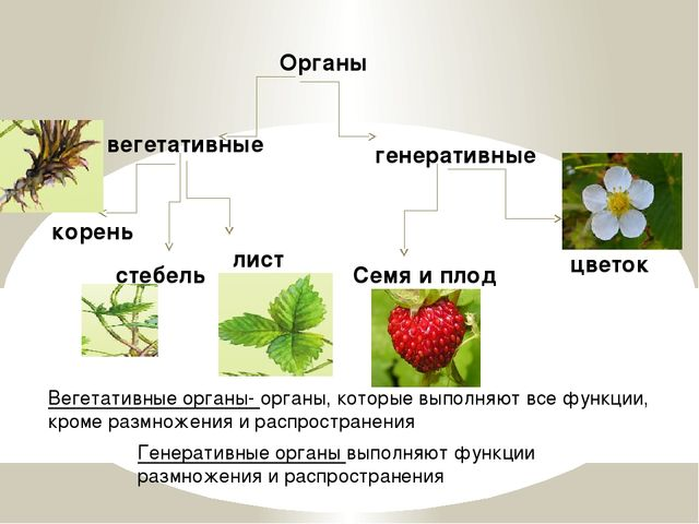 Органы вегетативные генеративные корень стебель лист цветок Семя и плод Веге...