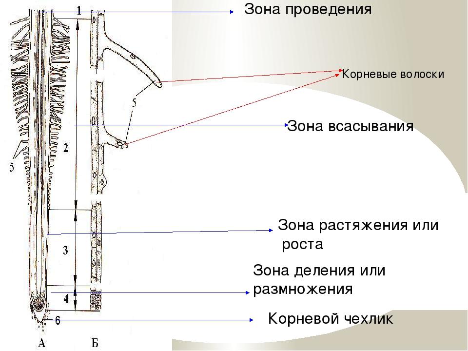 Корневой чехлик Зона деления или размножения Зона растяжения или роста Зона...