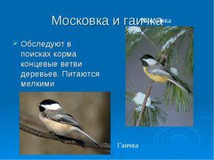 Московка и гаичка Обследуют в поисках корма концевые ветви деревьев. Питаются