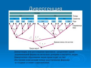Дивергенция Дивергенция, или расхождение признаков - разделение одной родонач