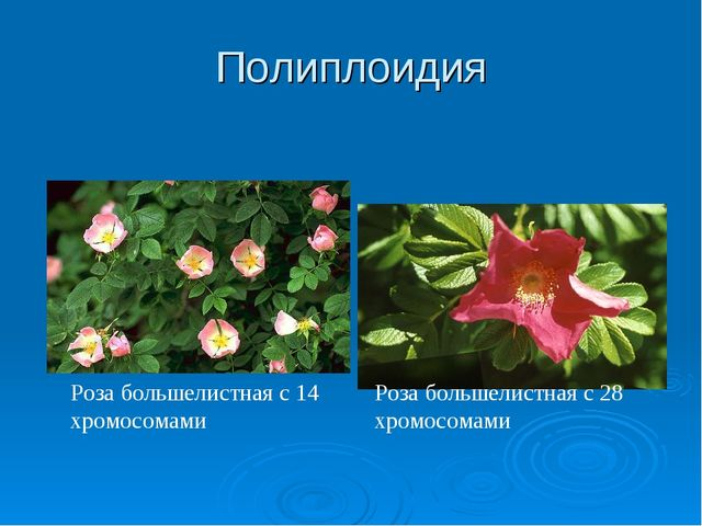 Полиплоидия Роза большелистная с 14 хромосомами Роза большелистная с 28 хромо...