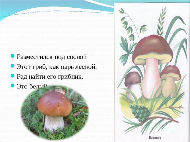 Разместился под сосной Этот гриб, как царь лесной. Рад найти его грибник. Это...