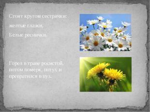 Стоят кругом сестрички: желтые глазки, Белые реснички. Горел в траве росистой