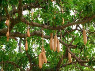 есть такое дерево, у которого полуметровые плоды?