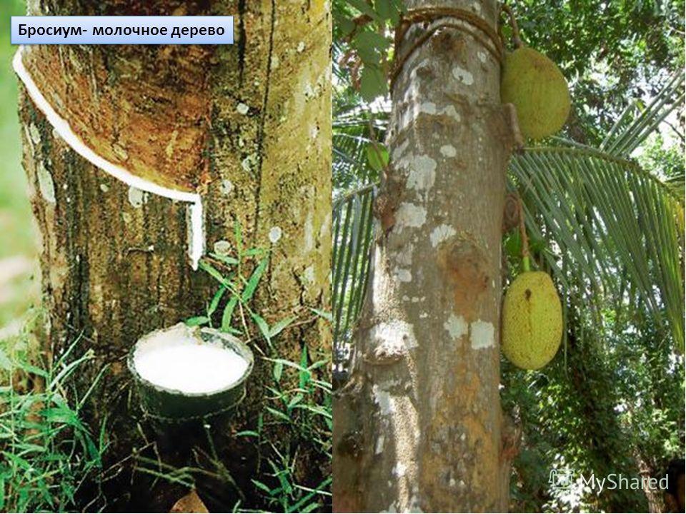 Молочное дерево фото во весь рост