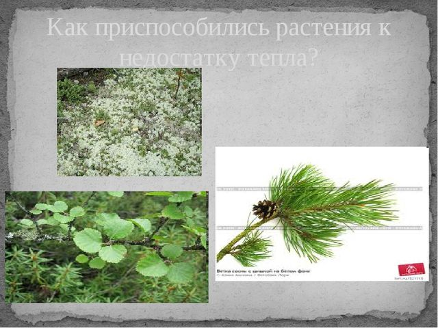 Как приспособились растения к недостатку тепла? Записать приспособления расте...