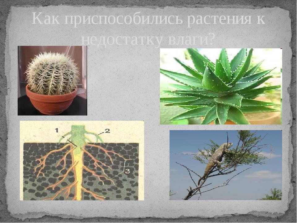 Как приспособились растения к недостатку влаги? Записать приспособления расте...