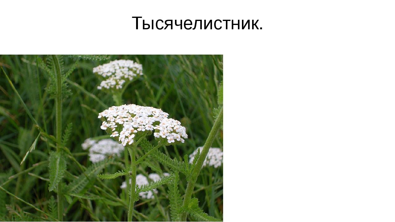"""""""Зеленая аптека"""" Знакомство с лекарственными растениями."""