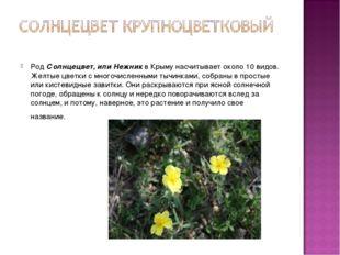 РодСолнцецвет, или Нежникв Крыму насчитывает около 10 видов. Желтые цветки