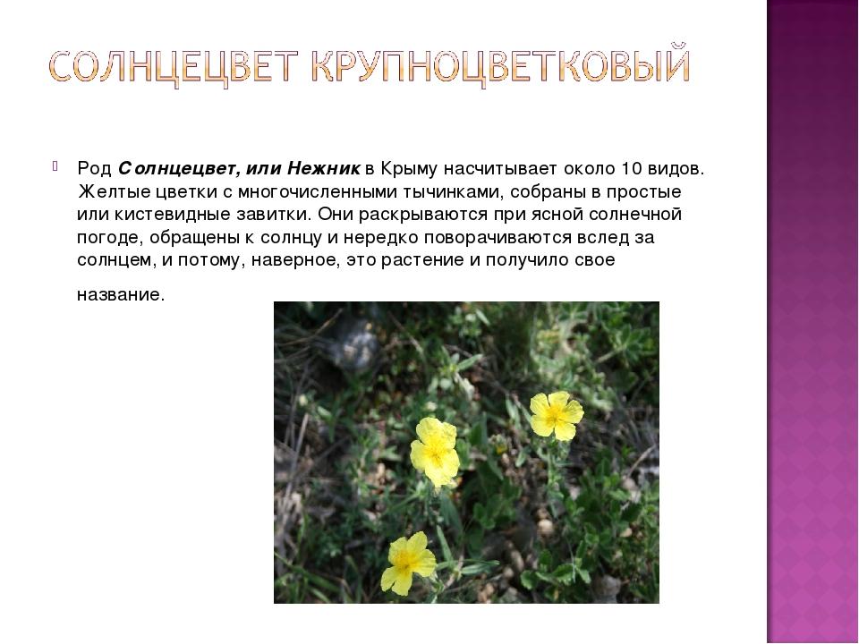 РодСолнцецвет, или Нежникв Крыму насчитывает около 10 видов. Желтые цветки...