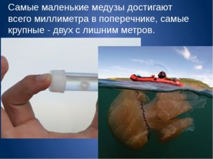 Самые маленькие медузы достигают всего миллиметра в поперечнике, самые крупны
