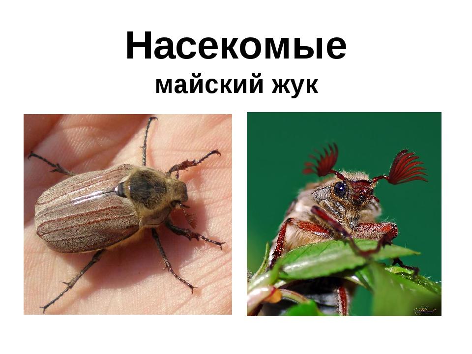 Насекомые майский жук