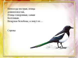 Непоседа пестрая, птица длиннохвостая, Птица говорливая, самая болтливая. Ве