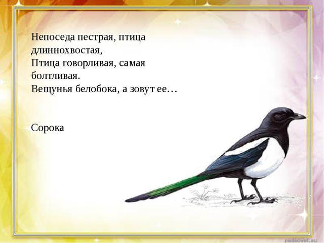 Непоседа пестрая, птица длиннохвостая, Птица говорливая, самая болтливая. Ве...