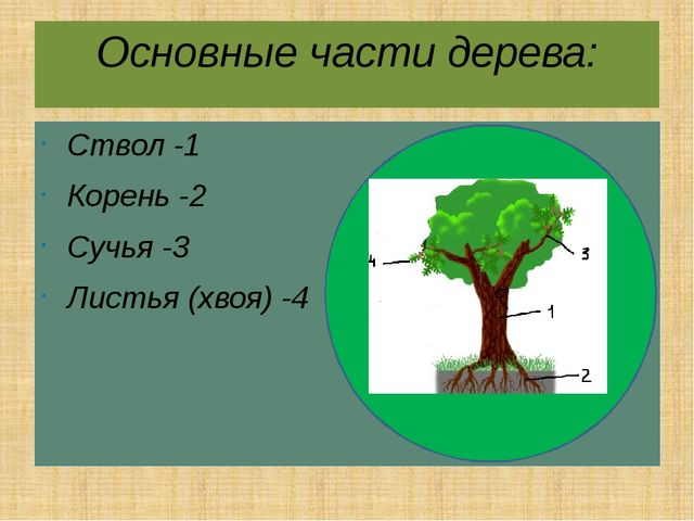Основные части дерева: Ствол -1 Корень -2 Сучья -3 Листья (хвоя) -4