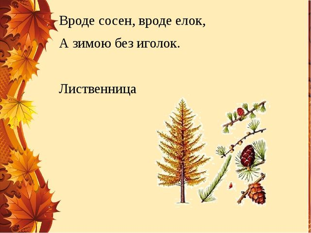 Вроде сосен, вроде елок, А зимою без иголок. Лиственница