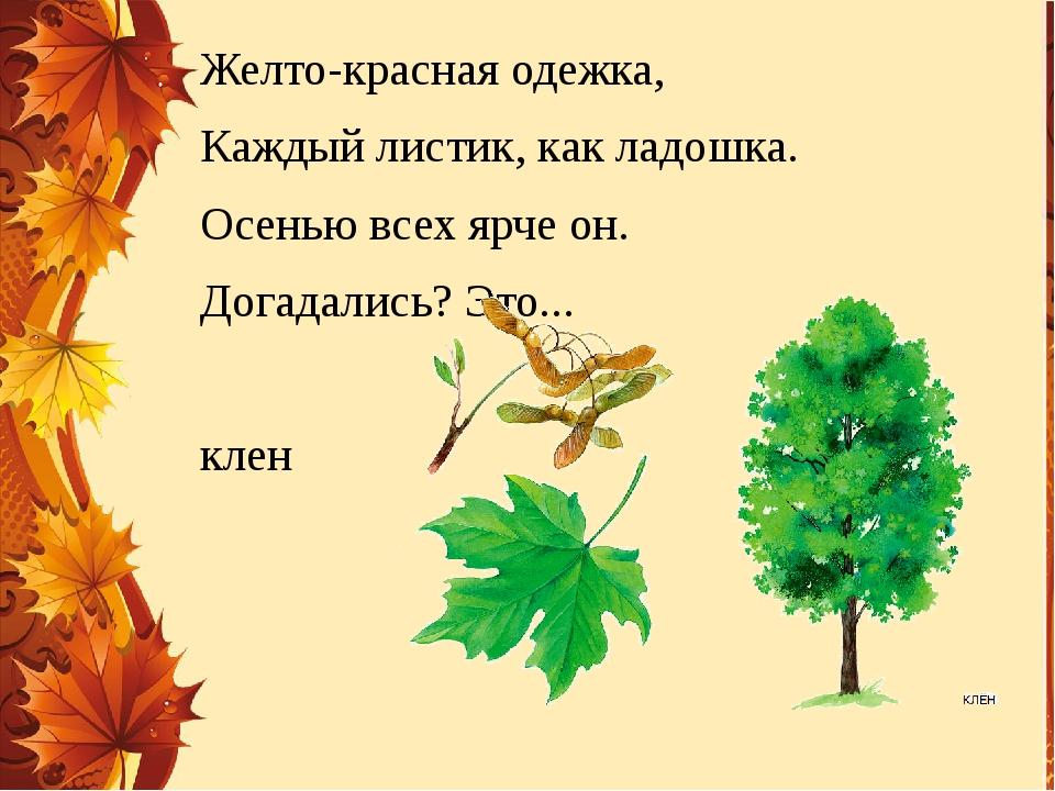Желто-красная одежка, Каждый листик, как ладошка. Осенью всех ярче он. Догада...