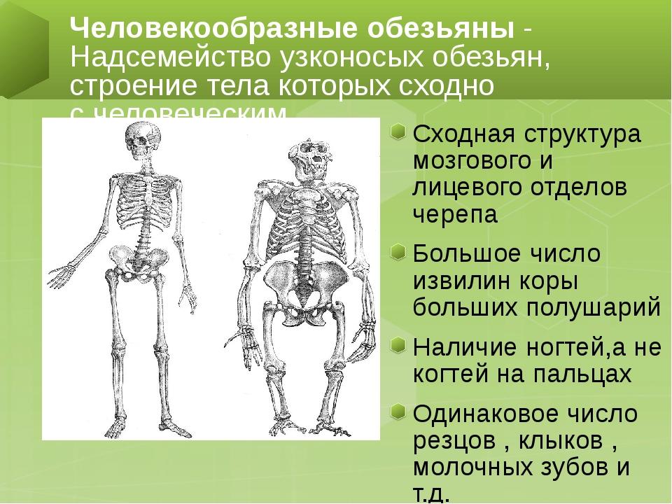 Сходная структура мозгового и лицевого отделов черепа Большое число извилин...