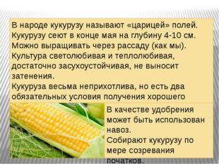 . В народе кукурузу называют «царицей» полей. Кукурузу сеют в конце мая на гл