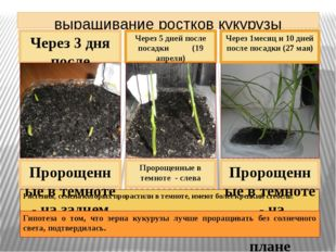 выращивание ростков кукурузы Через 5 дней после посадки (19 апреля) Через 3 д