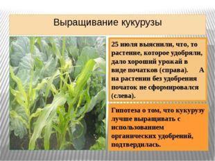 Выращивание кукурузы 25 июля выяснили, что, то растение, которое удобряли, да