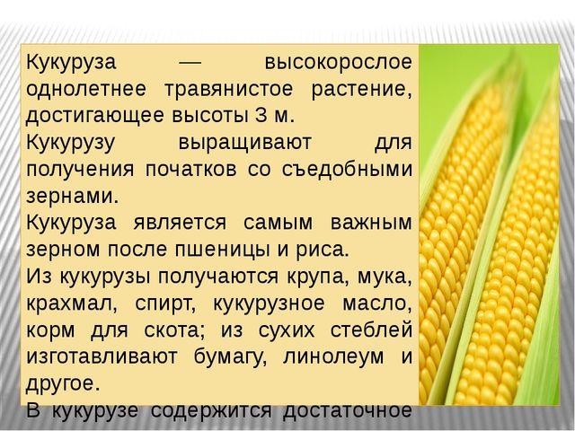 . Кукуруза — высокорослое однолетнее травянистое растение, достигающее высоты...