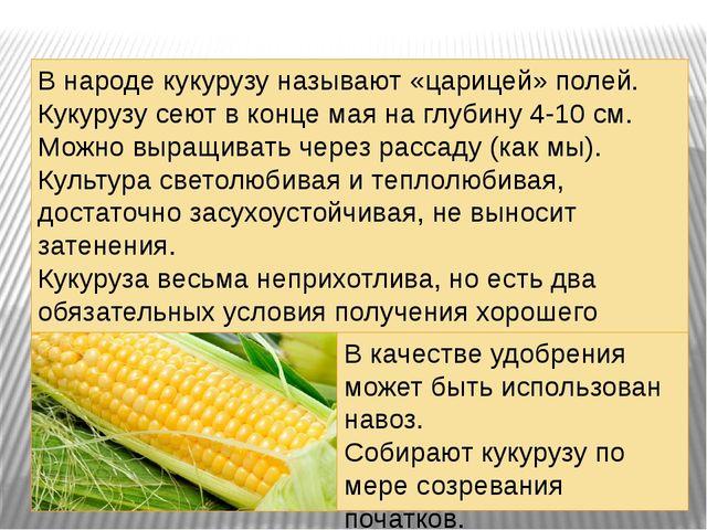 . В народе кукурузу называют «царицей» полей. Кукурузу сеют в конце мая на гл...
