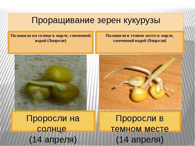 Проращивание зерен кукурузы Проросли в темном месте (14 апреля) Проросли на с...
