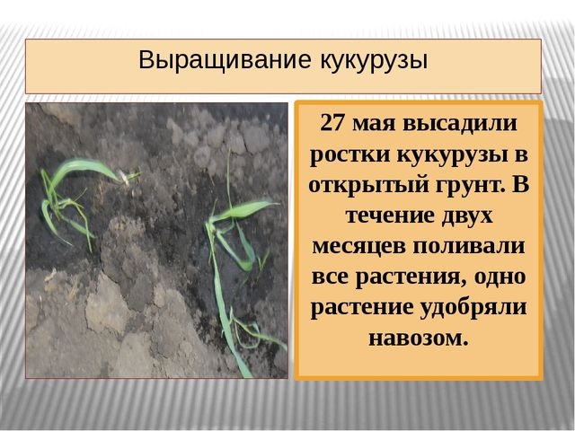 Выращивание кукурузы 27 мая высадили ростки кукурузы в открытый грунт. В тече...