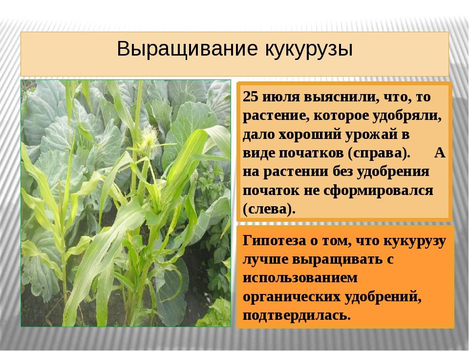 Выращивание кукурузы 25 июля выяснили, что, то растение, которое удобряли, да...