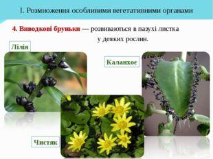 4. Виводкові бруньки — розвиваються в пазухі листка у деяких рослин. І. Розмн
