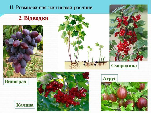 2. Відводки ІІ. Розмноження частинами рослини Агрус Смородина Виноград Калина