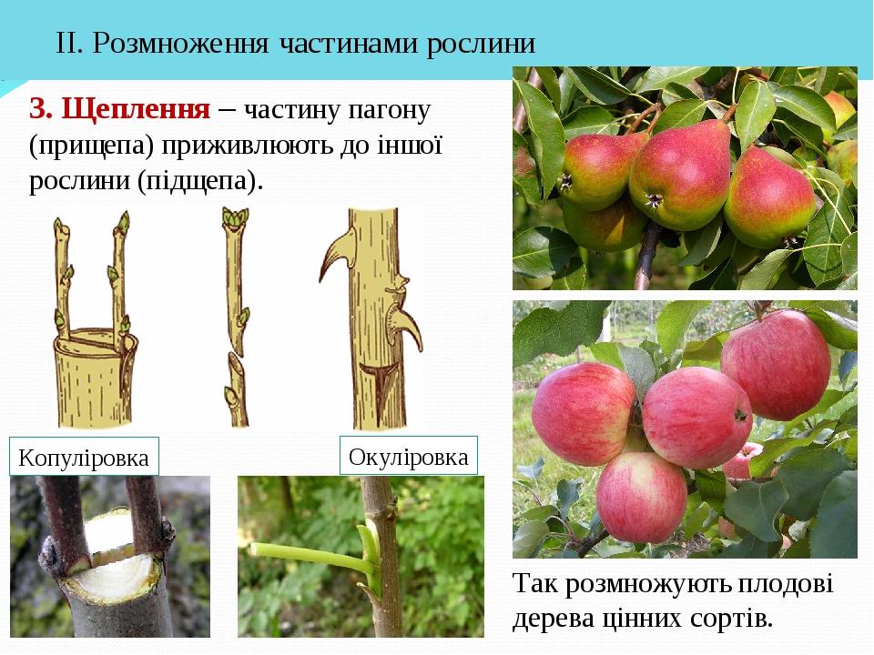 3. Щеплення – частину пагону (прищепа) приживлюють до іншої рослини (підщепа)...