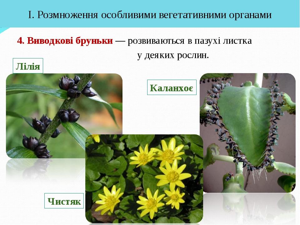 4. Виводкові бруньки — розвиваються в пазухі листка у деяких рослин. І. Розмн...