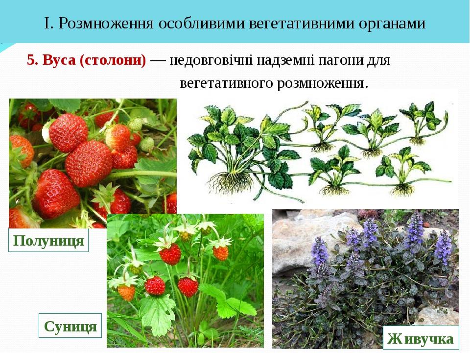 5. Вуса (столони) — недовговічні надземні пагони для вегетативного розмноженн...