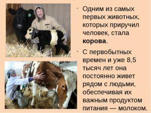 Одним из самых первых животных, которых приручил человек, стала корова. С пе