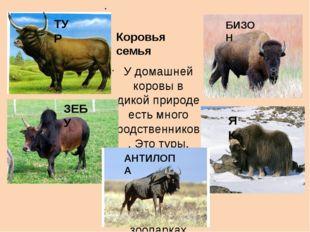 Коровья семья У домашней коровы в дикой природе есть много родственников. Эт