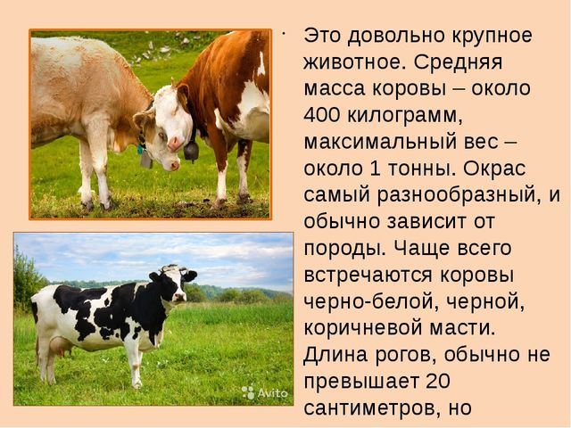 Это довольно крупное животное. Средняя масса коровы – около 400 килограмм, м...
