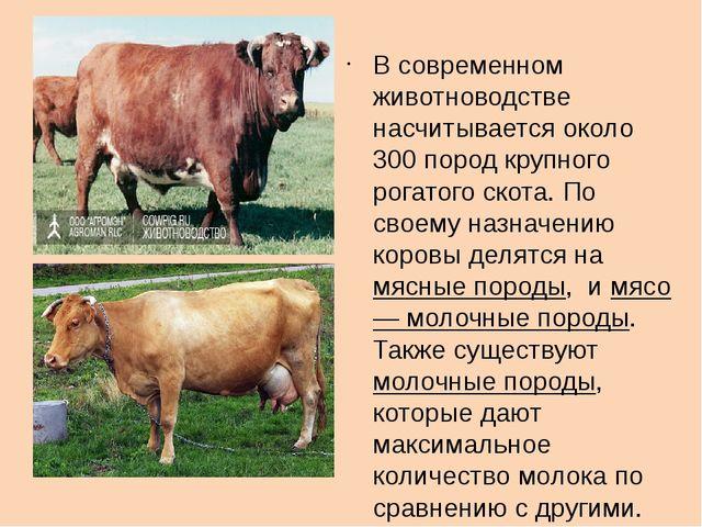 В современном животноводстве насчитывается около 300 пород крупного рогатого...