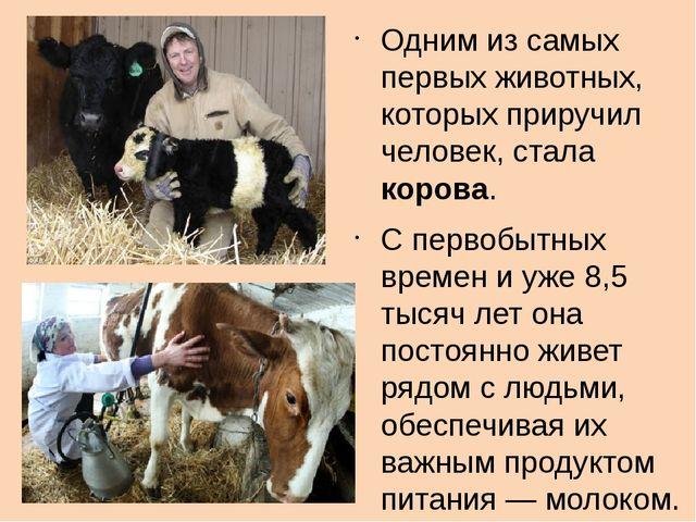 Одним из самых первых животных, которых приручил человек, стала корова. С пе...