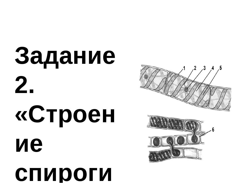 Задание 2. «Строение спирогиры» Рассмотрите микропрепарат водоросли сравните...